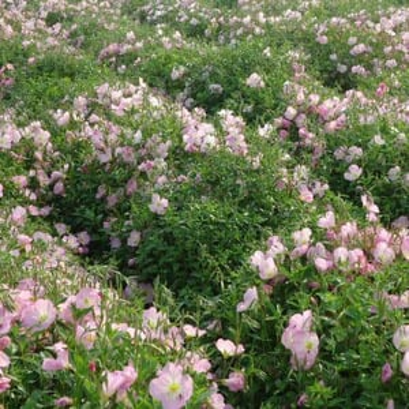 Oenothera Speciosa Rosea Rose Seeds