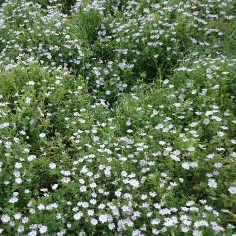 Nemophila Maculata Five Spot Seeds