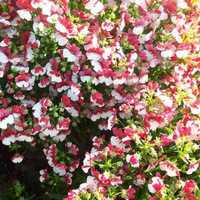 Nemesia Strumosa Compact Red White Seeds