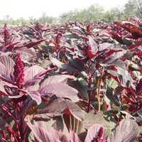 Amaranthus Red Seeds