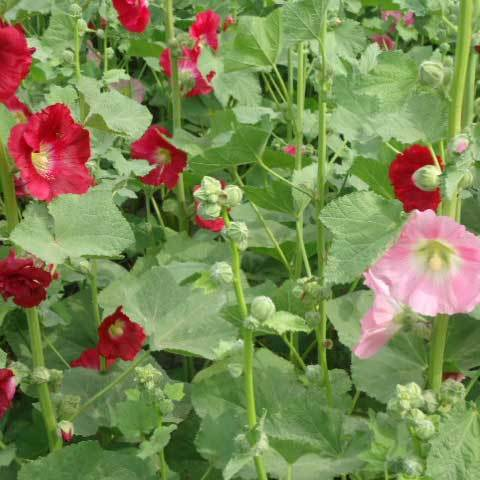 Althaea Rosea Single Mix Seeds