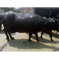 Female Murrah Breed Buffalo