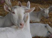High Milk Yielding Saanen Goats