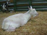 Saanen Goats Available