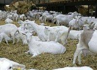 Saanen Breed Live Goats