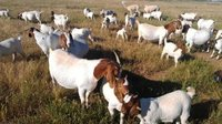 LIVE Full Blood Boer Goats / Pure Breed Saanen Goats / Sheep / Cattle/ Lambs and Cows Ready for Expo