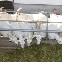 Healthy Pure Saanen Goats and 100% Full Blood Boer Goats At Cheap Price