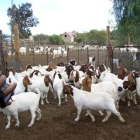 100% Full Blood LIVE Boer Goats, Saanen Goats, Anglo Numbian Goats for Sale