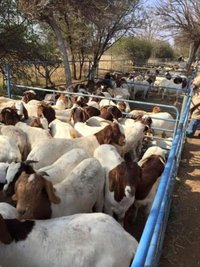 Pure Breed Saanen Goats / Sheep / Cattle/ Lambs and Cows Ready for Expo