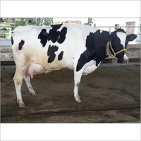 Quality Live Dairy Cows and Pregnant Holstein Heifers Cows Available.