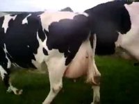 Nice Quality Live Dairy Cows and Pregnant Holstein Heifers Cows Available
