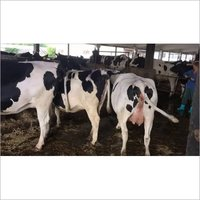 High Quality Live Dairy Cows and Pregnant Holstein Heifers Cows for Sale