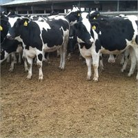 High Quality Live Dairy Cows, Friesian Holstein Cow available