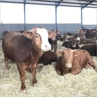 Live Healthy Simmental Bull/ Cattle/cow