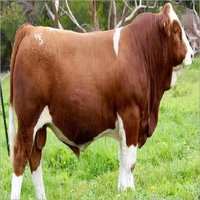 Simmental Bulls Cattle for sale/LIVE CATTLE
