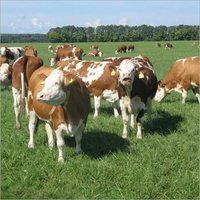 Healthy Live Healthy Simmental Bull/ Cattle/cow