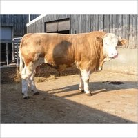 Buy Black Simmental / Healthy Simmental Cattle for sale.