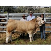 Good Healthy Live Simmental Cattle for sale
