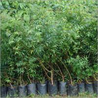 Neem Plant