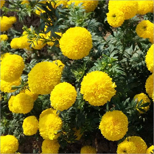 Marigold Seed
