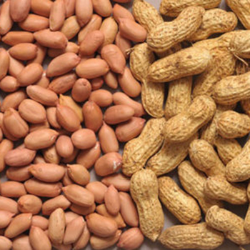 Fresh Groundnut