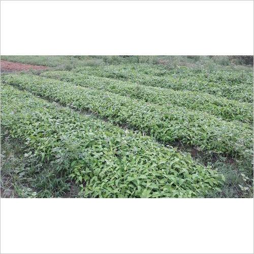 Sarpagandha Plants