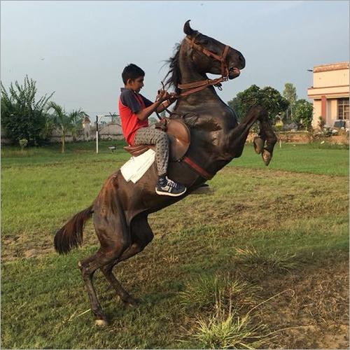 Pure Mare Horse