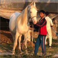 Pure Nukra Horse