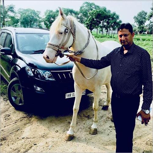 Nukra White Horse