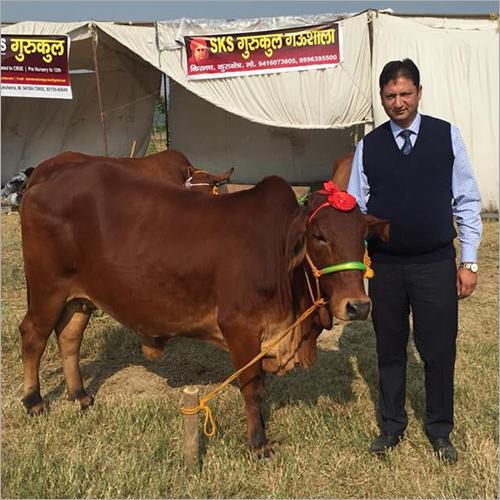 Indian Sahiwal Cow
