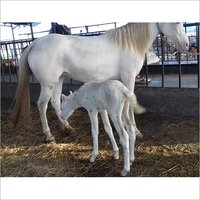 Filly White Horse
