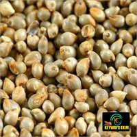 Pearl Millet / Green millet /Bajra