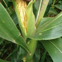 Natural Corn Silage