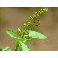 Rama Tulsi Ocimum Gratissimum Family Lamiaceae (Mint Family)