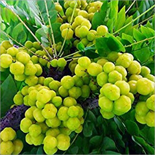 Juicy Gooseberry