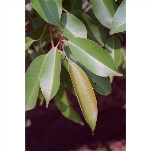 Syzygium Cumini Leaf