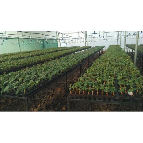Grafting Dutch Rose Plant