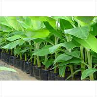Tissue Culture Plant