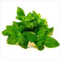Basil Oil (Sweet)