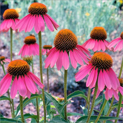 Echinacea Purpurea Whole Plant