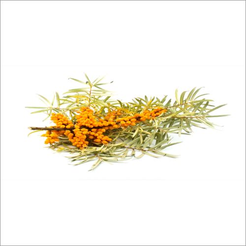 Sea Buckthorn Leaves