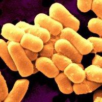 Lactobacillus Sporogenes