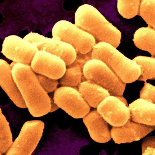 Lactobacillus Brevis Bulgaricus Casei Gasseri Reutrii