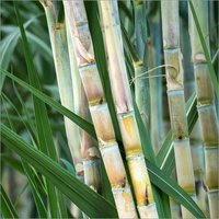 Pilot Seeks To Find Out If Pef From Sugarcane