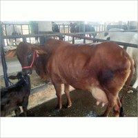 Healthy Sahiwal Cow