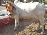 Indian Desi Cow