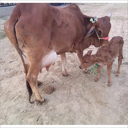 High Milking HF Cow
