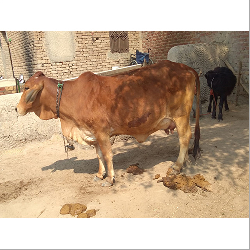 Desi Jersey Cow