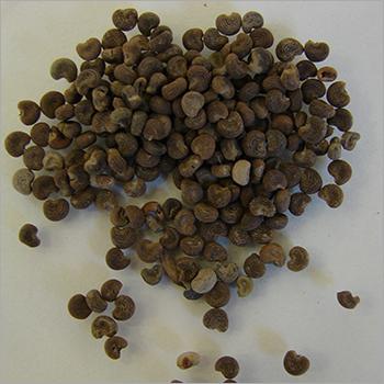 Ambrette (Musk) Seed Oil
