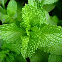 Patchouli Leaf oil